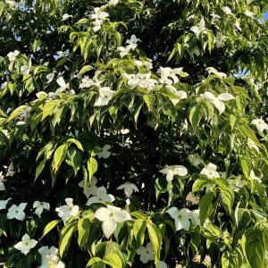ヤマボウシ 6月に咲いてましたw