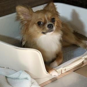 マロン日記 〜トイレで寝る犬〜