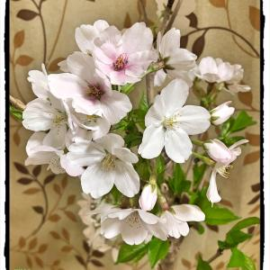 鉢植えの桜がほぼ満開です!