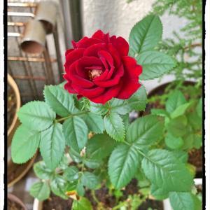 自宅のミニバラさん、秋の開花。