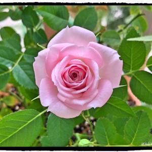 新しいミニバラさんの秋の開花。