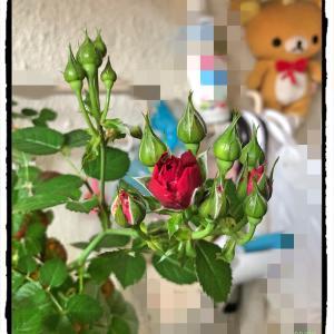 赤いミニバラさんも開花です。