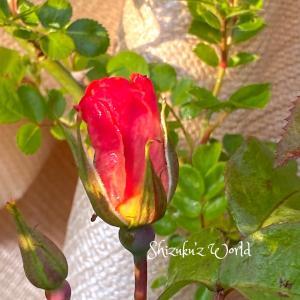5月の初バラと暴れリッキー