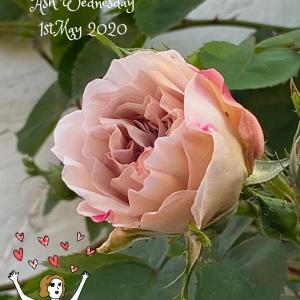 ♬バ〜ラが咲いた〜♬とサボタニや庭のお花