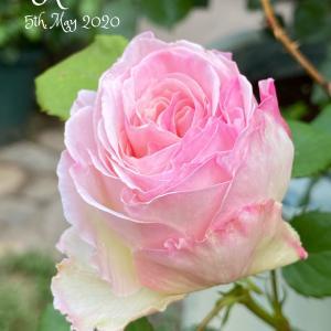 5月5日美しい朝バラとペンデンスソファ