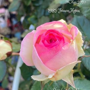 ピエールドゥロンサールが本領発揮とマミラリア桜月のお花