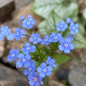 綺麗な青い小花のブルンネラとデコパンケース完成❤️