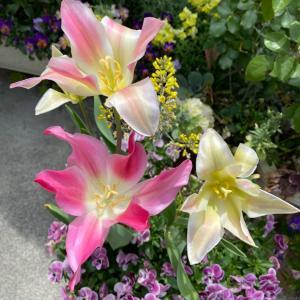 ユリみたいなチューリップと咲いたバラ