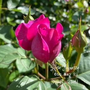 庭バラとスッキリッキー