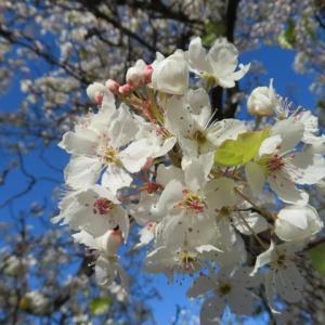 2月2日節分の日と早桜で癒されてください