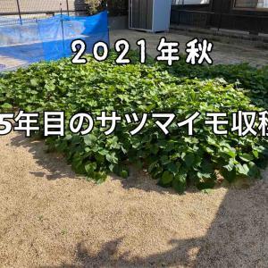 子供達と一緒に5年目のサツマイモ収穫。今年の出来栄えをご報告