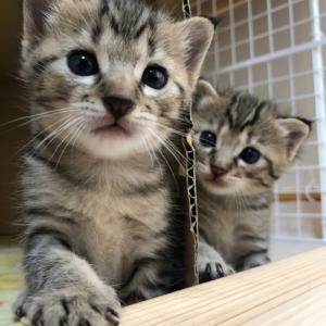 地域猫レスキュー❣️ひまり正式譲渡(*´▽`*)