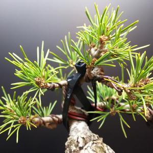 五葉松瑞祥の取り木と植え替え【前編】