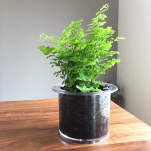 ふたりの緑化活動⑥アジアンタム植え替え