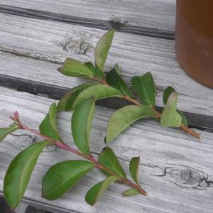 挿し木でミニ盆栽の素材を作る方法