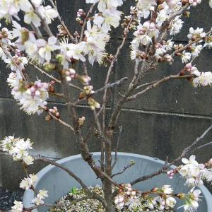 さくらんぼ(暖地桜桃)を取り木してミニ盆栽を作る。