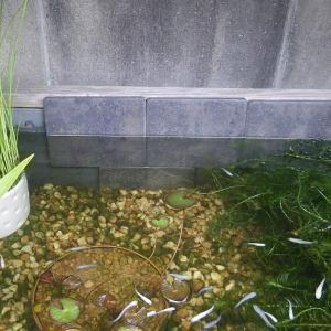 梅雨入りして水草は元気ですが、メダカの日照不足に注意しましょう。