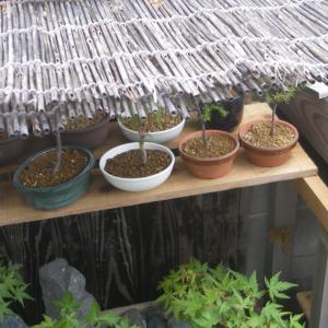 ミニ盆栽の水切れ対策 暑い夏の葉枯れを防ぐ。