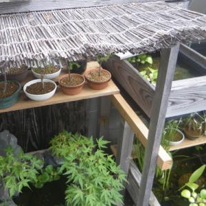 猛暑が続く熱い夏は、ミニ盆栽の水切れに注意しましょう。