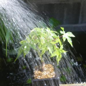 盆栽の水遣りの基本 初心者でも簡単に潅水できます。