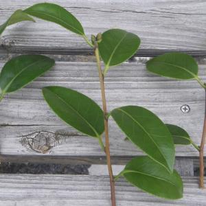 椿(ツバキ)の挿し木を成功させるためのポイント