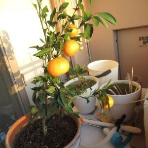 みかんを収穫しました。