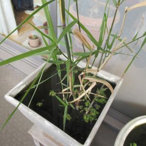 寒い冬でも枯れずに越冬できる多年草の水草の巻