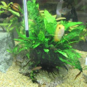 【熱帯魚水槽】日蔭で育つオススメ水草の明暗
