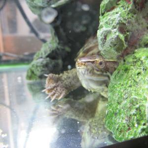 ミシシッピニオイガメのミッピーちゃん(66)癒し