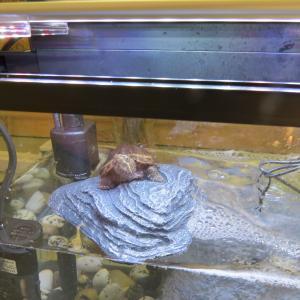 ミシシッピニオイガメにバスキングは必要か?(先入観はよくないかも)