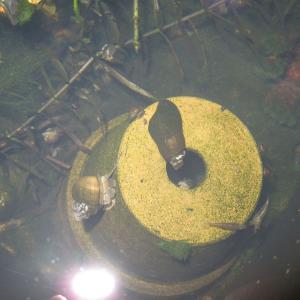 屋外止水環境でのカワニナの飼い方と注意点(重版)