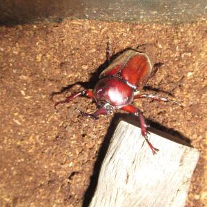 カブトムシの桶化時に湧く奴ら!コバエを退治する『その後』カブトムシ成虫が地上に現る!