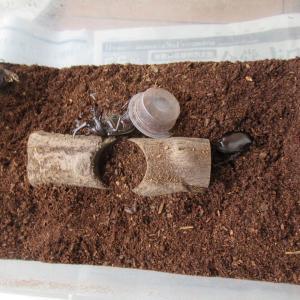 【脱走あり】カブトムシの掘り出し、コロナと大雨の中の夏の始まり..。