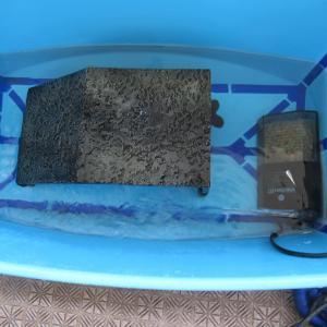 ミシシッピニオイガメのミッピーちゃん(67)避暑地へ移動