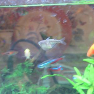 【熱帯魚水槽】上層に棲む熱帯魚のゴールデン・デルモゲニー