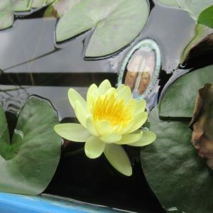 今年は花が咲きそうにない水生植物たち