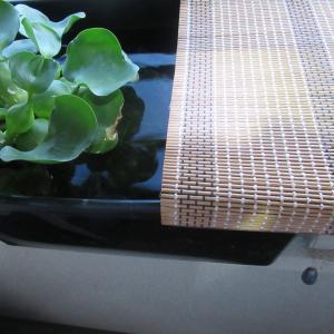 【暑い夏は終わった】屋外メダカの容器の簾(すだれ)をはずす