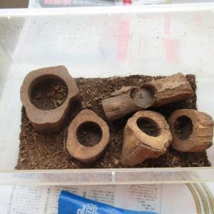 カブトムシ幼虫の掘り出し、ちょっと少ないけど育てるには丁度いい