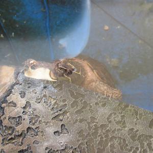 ミシシッピニオイガメのミッピーちゃん(70)秋を感じ取りバスキングをやめる