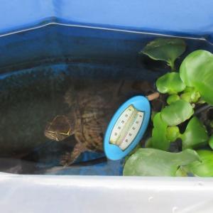 ミシシッピニオイガメのミッピーちゃん(71)屋外から屋内へ帰郷の巻