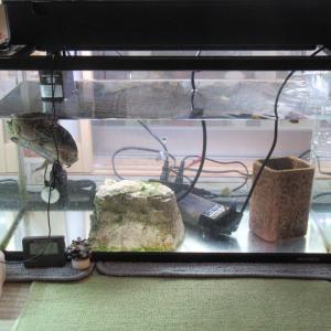ミシシッピニオイガメのミッピーちゃん(72)こんなとこで寝てるよー。