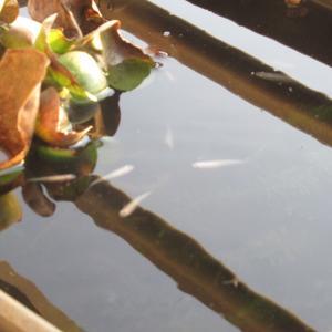 メダカは冬でも暖かい日は水面に浮かんできます。