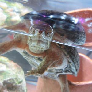 ミシシッピニオイガメのミッピーちゃん(76)食欲不振と便秘、寄生虫から脱した方法