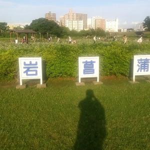 【息抜き】花見頃の小岩菖蒲園に行きました。