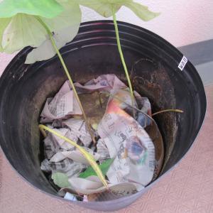 ハスの芽出しが不調につきハスの株(蓮根)を購入し植える