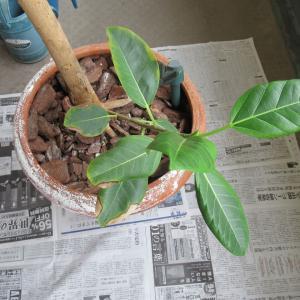 【観葉植物】大型テラコッタ鉢の老朽化によりポリエチレン鉢に変更