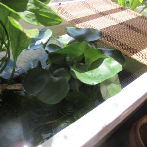 【関東甲信梅雨明け】メダカや熱帯魚たちの猛暑と熱中症対策の暑い夏が始まる