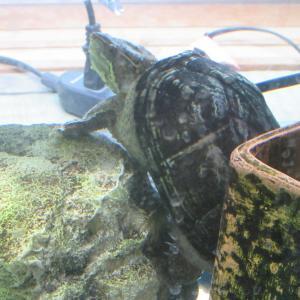 ミシシッピニオイガメのミッピーちゃん(81)避暑地の別荘に行く