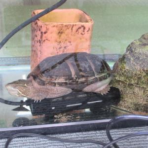 ミシシッピニオイガメのミッピーちゃん(82)「あったか~い。」とヒーターの上で寝るの巻