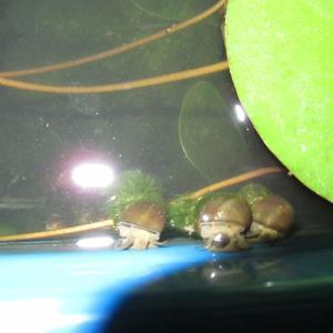 残暑の淡水貝(タニシ・カワニナ)たち